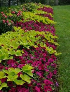 flower bed with wave petunias | Sweet potato vine and wave petunias