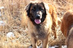 Leonberger pups for adoption from fishburn Homestead & Kennel Giant Schnauzer, Puppies For Sale, Poodle, Homesteading, Website, Amazing, Dogs, Animals, Animales