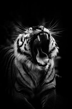 Wildlife Photography Black And White Tiger Kingso Beautiful Cats, Animals Beautiful, Majestic Animals, Animals And Pets, Cute Animals, Into The Wild, Gato Grande, Tier Fotos, Mundo Animal