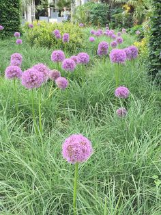 Sea of alliums above grasses at Wisley Gardens