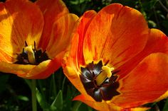 Orange Tulips by Cross Duck, via Flickr
