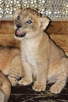 Baby lions at the Miami Zoo!