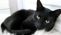 7 Fakta Tentang Kucing Hitam Yang Tidak Kamu Ketahui