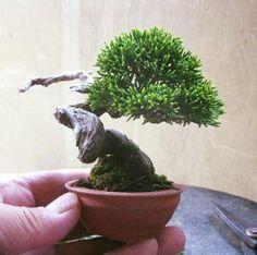 haru #bonsai
