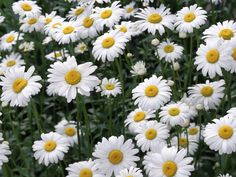 Essential Oil of the Week: Camomile