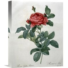 Global Gallery 'Rosa Gallica (Pontiana)' by Pierre Joseph Redoute Graphic Art on Wrapped Canvas Size: