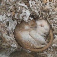 Gerbil Brothers Fast Asleep