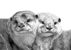 OTTERS signed open edition giclee print, cuddling asian otters, pencil drawing, x graphite Pencil Drawings Of Animals, Drawing Animals, Pencil Portrait Drawing, Otter Love, Wildlife Art, Otters, Cuddling, Giclee Print, Lion Sculpture