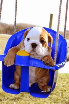 Baby bulldog in a swing. A cutie!