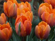 Tulips in my garden last spring.