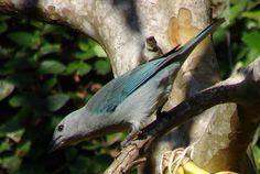 Thraupis sayaca - Lista de aves do Brasil – Wikipédia, a enciclopédia livre