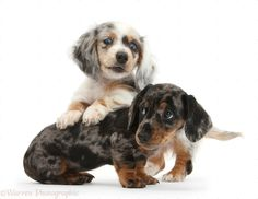 Dachshund | ... Silver double dapple and tricolour merle Dachshund pups, 8 weeks old