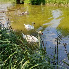 Swan, Animals, Park, Swans, Animales, Animaux, Animal, Animais
