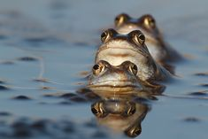 A lot of eyes! - These morefrogs are very curious and all looking the same way.