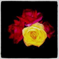 Kennedy roses