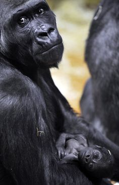 Aaaawwww look at the baby gorillas face how adorable