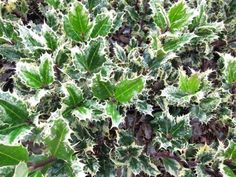 Ilex aquifolium 'Ferox Argentea' Hedgehog holly