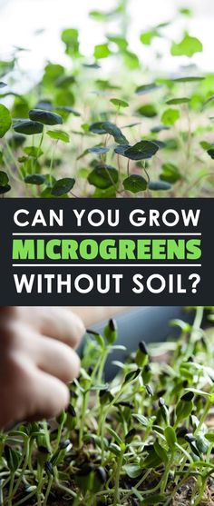 Is it a good idea to grow microgreens in an inert medium like rockwool or burlap, or does soil perform better? Find out in this experiment.