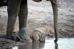 Baby Elephant drinking. When they are this young, they don't yet know how to use their trunks to drink water.