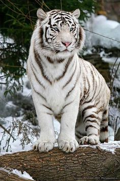 10 Best and Cool White Tiger Pictures You Must See Nature Animals, Animals And Pets, Beautiful Cats, Animals Beautiful, White Bengal Tiger, Bengal Cats, Siamese Cat, Sphynx Cat, Tiger Pictures