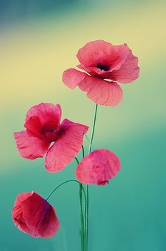 In the love language of flowers, Poppies mean loyalty, faith, and remembrance Wonderful Flowers, Beautiful Flowers, Exotic Flowers, Purple Flowers, Bouquet, Language Of Flowers, Pansies, Spring Flowers, Flowers Garden