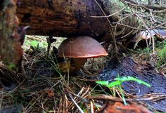 Picking up and eating mushrooms is a favourite pastime for most Czechs (Photo ČTK)