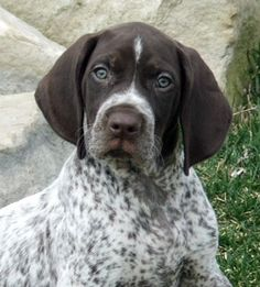 I've got a deposit on a beautiful little pointer like this one!  Puppy number 2 in the spring!