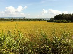 Lush green rice paddies in Luang Namtha