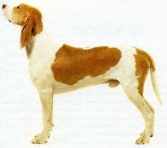 Chien Francais Blanc et Orange - French - Large Scenthound