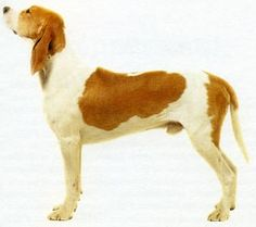Grand anglo-français blanc et orange (324) (Great Anglo-French White and Orange Hound) - France