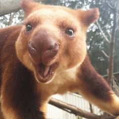 The Tree Kangaroo Is The Cutest Animal You've Never Heard Of