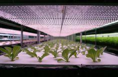 Japan is building a giant robotic lettuce factory  ... #Aquaponics #Hydroponics #Gardening #Design