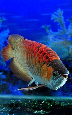 Red Dragon Fish (Asian Arowana)