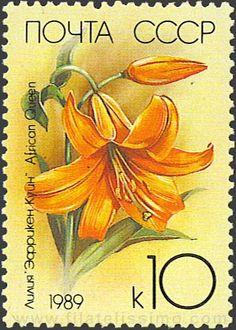 Lilium speciosum.