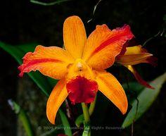 CTM91 – a Hazel Boyd Sophrolaeliocattelya Orchid  © 2009 Patty Hankins