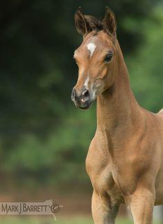 2 month old Arabian Horse foal by QR Marc