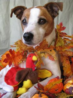 Seasonal Jack Russell Terrier!