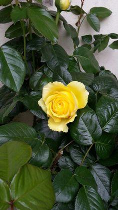 Ma première Rose.. Hummm comme elle sent bon... Elle sent ma mère.