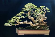 This gorgeous bonsai was made by the brilliant Robert Steven.