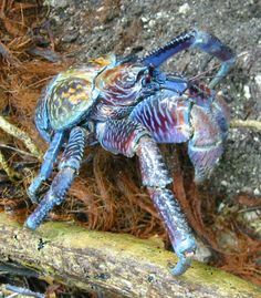 Would not want to meet one of these in the dark! Ocean Creatures, Weird Creatures, All Gods Creatures, Shrimp And Lobster, Crab Stuffed Shrimp, Coconut Crab, Land Turtles, Crab Art, Crab Shells