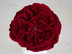 The David Austin Wedding Rose Tess has a stunning deep, royal red colour, with many petals forming a perfect rosette around a little green eye. A ruffled center, surrounded by larger outer petals, adds great depth to floral creations.