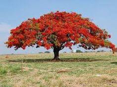 Image result for fountain shaped crown of tree roystinea regia