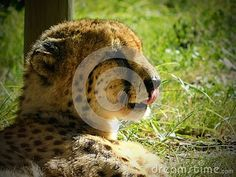 A side view of a Cheetah lying on grass licking its lips after eating. Elephant Images, African Animals, Zebras, Side View, Cheetah, Giraffe, Grass, Fox, Lips