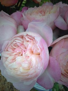The David Austin Wedding Rose Constance™ is a wonderfully romantic rose, with an overall effect of soft pink and with a delicious fruity fragrance. Light Pink Flowers, Exotic Flowers, Yellow Roses, Pink Roses, White Flowers, Neutral Wedding Flowers, Rose Wedding, Parfum Flower, Peonies Garden