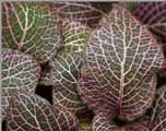 fitonia Plant Leaves, Vegetables, Plants, Indoor Plants, Interiors, Vegetable Recipes, Plant, Veggies, Planets