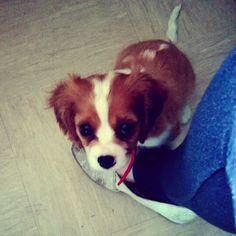 Lady :) #dog #kingcharles
