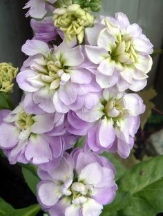 "Matthiola incana , known in English as ""stock"", ""common stock"", or ""hoary stock"" and in French as matthiole , giroflée quarantaine , giroflé..."