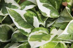 """Pothos """"Pearls and Jade"""""""