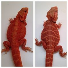 Spike x Lucy, can't wait for this pairing. FIRE! #goldenstatereptiles #gsreptiles #redrockreptiles #blazinbeardies - @gsreptiles- #webstagram
