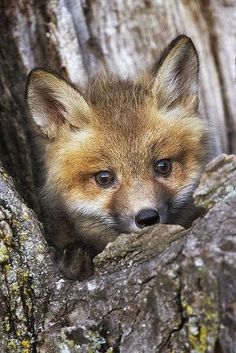 Baby Fox by bleu.